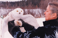 Snowy owl being released back into the wild!